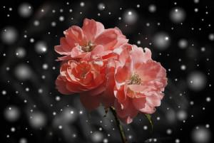 rose-572757_1280