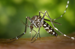 tiger-mosquito-49141-1920